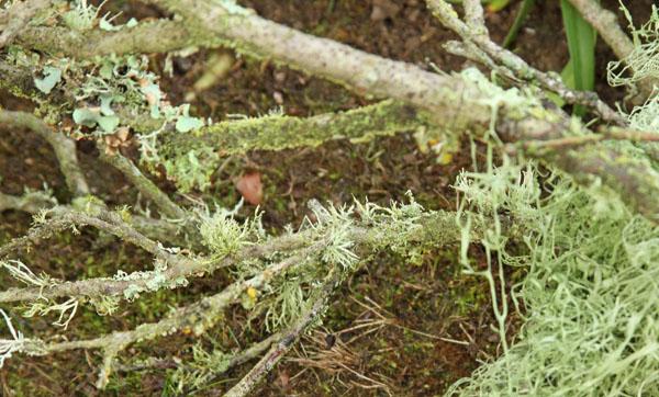 moss twig w