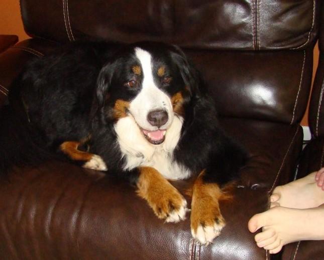 bernese mountain dog2