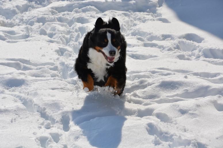 rabid i mean happy bernese mountain dog