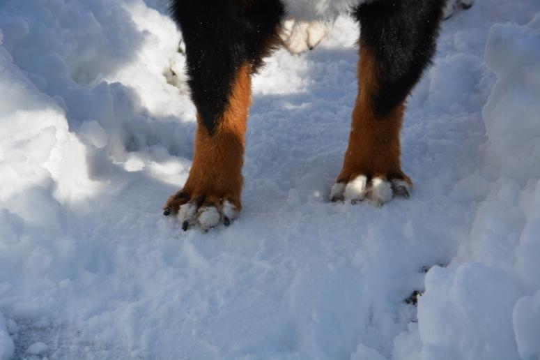 rabid bernese mountain dog